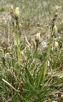 степная осока (Carex humilis)