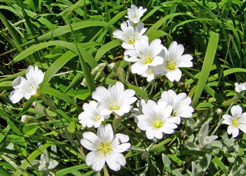 крымский «эдельвейс» (Cerastium bibersteinii)