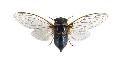 цикада (Lyristes plebejus)